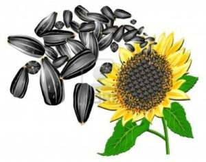 sunflower-seed-clipart-sunflower-seeds-and-beautiful-flower-on-a-white-background-vector-illustration